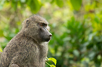 Female Olive Baboon, Papio anubis, in Arusha National Park, Tanzania