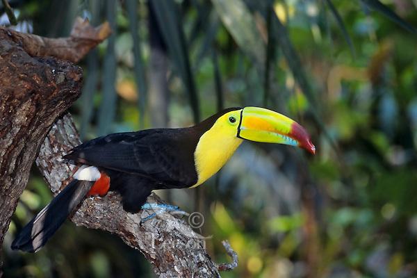 Keel-billed toucan (Ramphastos sulfuratus), Belize