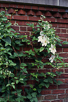 Clematis henryi, white flowering perennial vine, sweetly scented