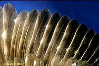 OW10-001b  Saw-whet owl - feathers close-up - Aegolius acadicus