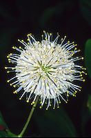 Space Age looking flower of Cephalanthus occidentalis Sputnik