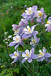Colorado Blue Columbine, Rocky Mountains, Colorado, flowers, wildflowers, plant