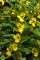 Partridge Pea (Chamaecrista fasciculata), a North American native annual associated with prairies. The pinnately compound leaves fold during the heat of the day.