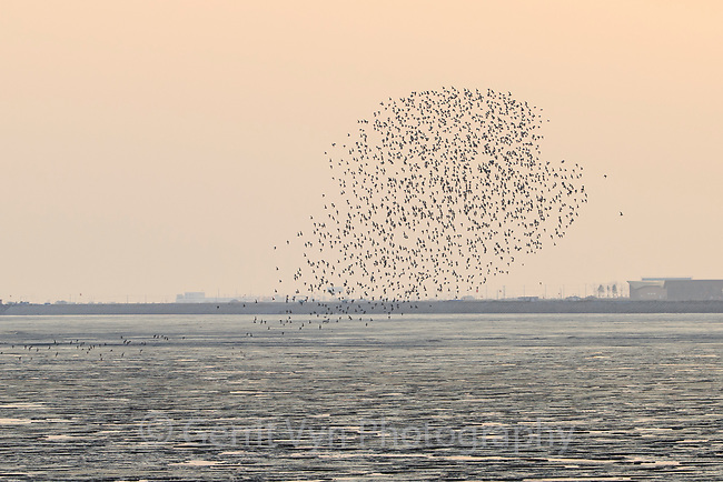 A flock of long distance migrant Great Knots (Calidris tenuirostris) flying to roost in the Yellow Sea . Yalu jiang, China. April.