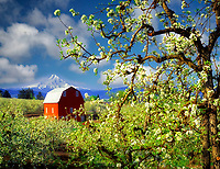 F00137M.tif   Mount Hood, barn and blooming pear orchard. Hood River Valley, Oregon