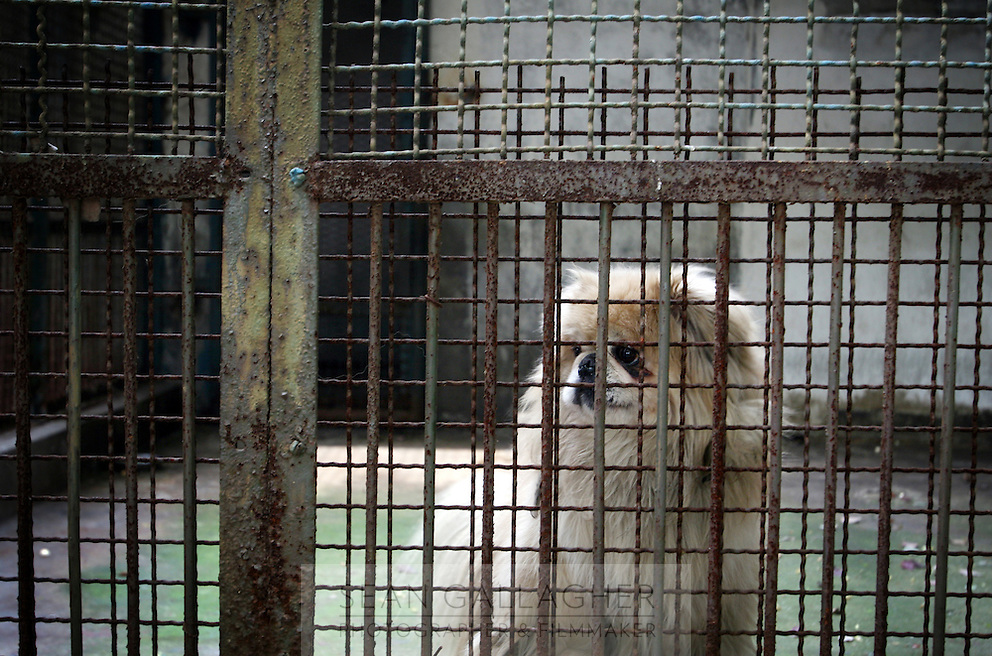 CHINA. Hubei Province. Wuhan. A dog in an enclosure in Wuhan zoo. In many of China's 'second-tier' cities, away from the modern zoos in the megacities of Beijing and Shanghai, hide a plethora of smaller unknown zoos. In these zoos, what can only be described as animal abuse is subtly taking place in the form of deprivation of light, space, sanitation and social contact with other animals. Living in awful conditions, these animals spend there days entertaining tourists who seem oblivious to the animals' plight and squalid existence. 2008.