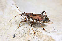 Ameisen-Sichelwanze, Ameisensichelwanze, Himacerus mirmecoides, Aptus mirmicoides, Ant Damsel Bug, Sichelwanzen, Nabidae