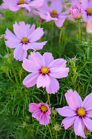 Cosmos bipinnatus 'Casanova Pink'
