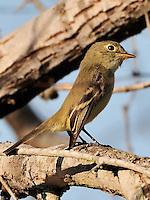 Pine Flycatcher, Choke Canyon State Park, Texas
