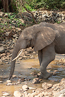 An African Elephant, Loxodonta africana, drinks from a shallow stream in Lake Manyara National Park, Tanzania