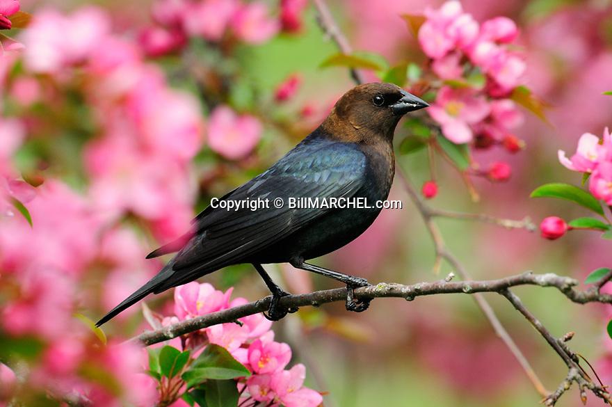 00225-002.10 Brown-headed Cowbird male is perched in red splendor crab apple tree in bloom.  Pink, spring.