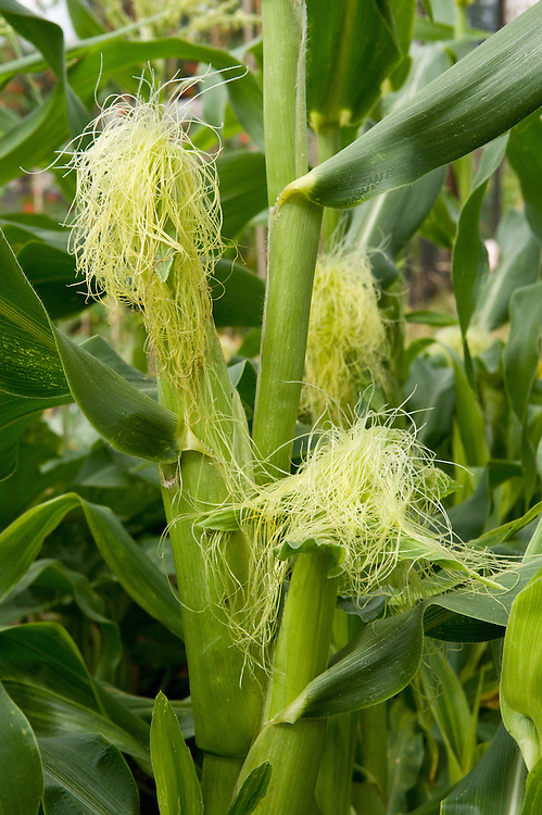 Female flowers are called 'silks'. They grow from the top of each sweetcorn cob and form silky strands to which pollen from the male flowers attaches.