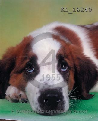 Interlitho, Alberto, ANIMALS, dogs, photos, dog, lying(KL16249,#A#) Hunde, perros