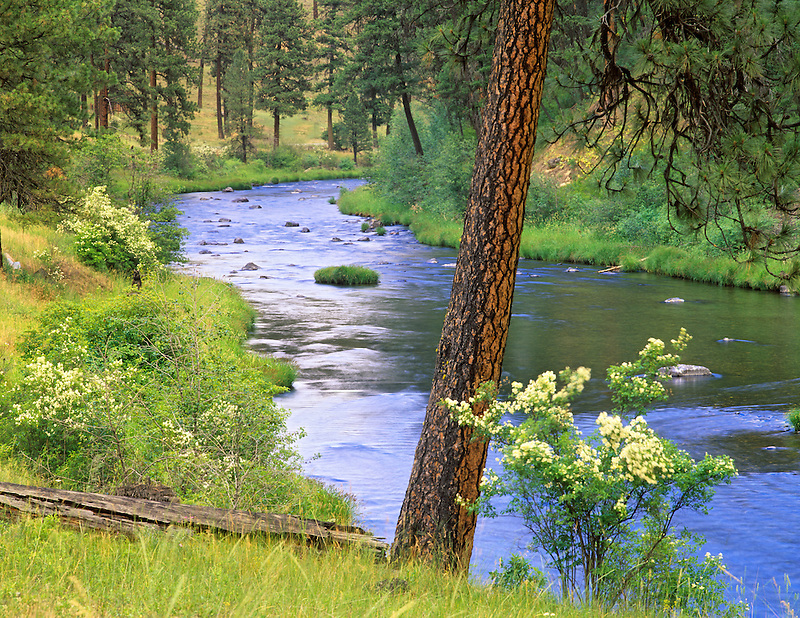 North Fork John Day River with white Moc Orange and ponderosa pine. Oregon