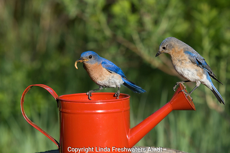 Female eastern bluebird perched on an enamel pot