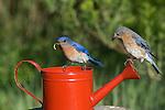 Female eastern bluebird perched on an enamel pot