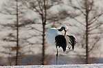 The red-crowned crane is one of Japan's most charismatic and emblematic animals. Once found throughout Asia, Japanese cranes are now endangered. However, recent efforts to maintain a habitat on Lake Hokkaido have produced a comeback and offer hope for the cranes' survival in Japan.