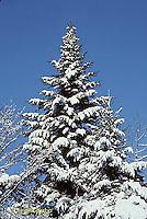 WT09-012z  White Spruce - winter - Picea glauca
