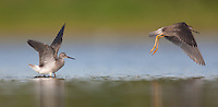 Lesser Yellowlegs (Tringa flavipes) pair take off into flight, East Pond, Jamaica Bay Wildlife Refuge