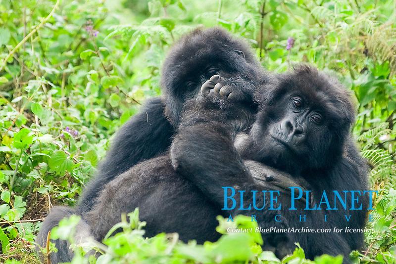 mountain gorilla, Gorilla beringei beringei, a subspecies of eastern gorilla, Gorilla beringei, critically endangered species, Bwindi Impenetrable National Park, Bwindi Impenetrable Forest, Kanungu District, Western Region, Uganda, Africa