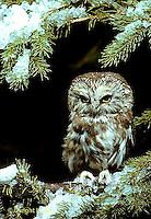 OW02-035b  Saw-whet owl - sitting on branch - Aegolius acadicus