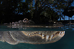 American alligator (Alligator mississippiensis), Everglades Outpost. Nuissance alligators in protective pens, Homestead FL