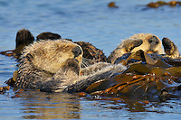 Sea Otter (Enhydra lutris) resting while wrapped up in kelp--keeps the otter from drifting with the tide.
