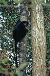 Perrrier's Black Sifaka (Propithecus perrieri). Analamera Reserve. Northern Madagascar