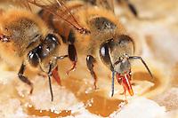 apis mellifera, beekeeping, comb, honey, beehive, honeybee. tongue.