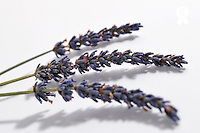 Three lavender flowers, studio close-up (Licence this image exclusively with Getty: http://www.gettyimages.com/detail/93187596 )