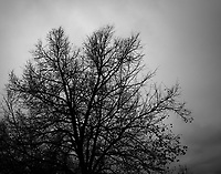A near leaf-less tree raises an intricate web of bare limbs toward a heavily overcast sky in black and white.
