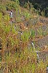 Irrigation des cutlures de canne a sucre en terrasse. Ribeira de Paul ile de Sao Antao