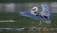 We watched this heron balance on floating kelp and hunt for the young fish hiding underneath.
