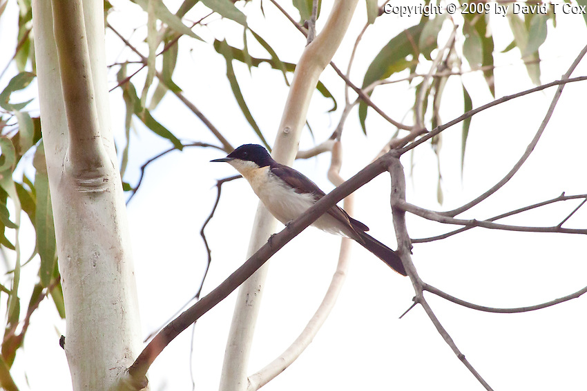 Restless Flycatcher, Darling River, NSW, Australia