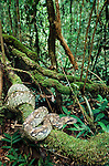 Madagascar Tree Boa (Sanzinia madagascariensis) in rainforest understorey. Andasibe-Mantadia National Park, Eastern Madagascar.