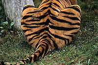 MA40-001a  Bengal Tiger - back - Panthera tigris