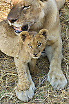 Lion with cub, Okavango Delta, Botswana