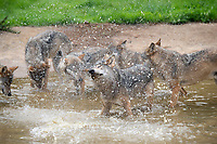 """BNPS.co.uk (01202) 558833<br /> Pic: ZacharyCulpin/BNPS<br /> <br /> Shake 'n Pack - A pack of European wolves enjoy a cooling dip at Longleat as temperatures<br /> start to rise ahead of a predicted heatwave over the weekend.<br /> The wolves, which were once native across the UK, were introduced to their Wiltshire<br /> woodland home in 2019.<br /> Since arriving at Longleat the pack has grown significantly with the arrival of two sets of<br /> cubs.<br /> """"The wolves actually love the water, especially during the summer, and will spend quite a lot<br /> of time splashing about in their pond and using it as somewhere to cool down,"""" said keeper<br /> Ian Turner."""