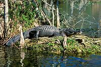 American alligator, Alligator mississippiensis, Wakulla Springs State Park, Florida panhandle