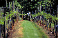 A vineyard laborer drives a small tractor between rows of planted grape vines at the Oakencrof Vineyard and Winery near Charlottesville. Charlottesville Virginia, Oakencrof Vineyard and Winery.