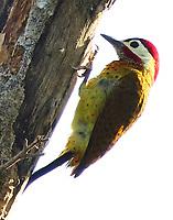 Male spot-breasted woodpecker