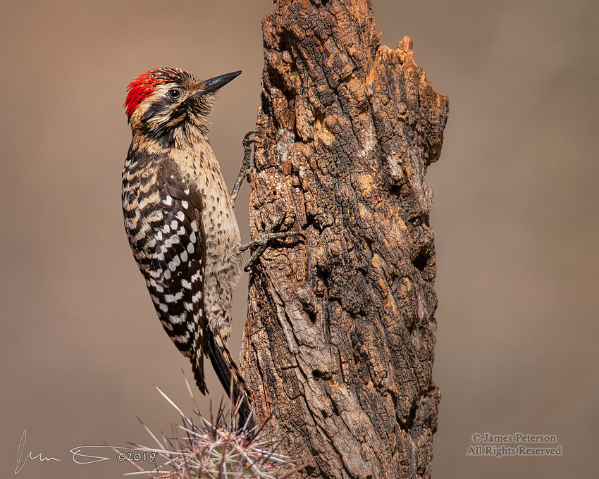 Ladder-Backed Woodpecker, Sedona, Arizona ©2019 James D Peterson.  Sedona is nominally beyond the northern edge of the range for this desert species, but that didn't seem to concern this adventurous male.  He was looking for brunch on a sunny April morning.