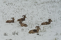 Big Horn Sheep in snow in Yellowstone.