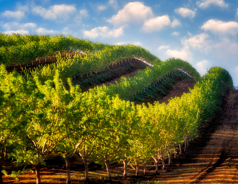 Fruit trees, (almond) in rows over hill. Near Williams, California