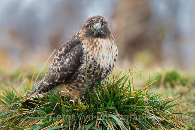 Red-tailed Hawk (Buteo jamaicensis). Ridgefield National Wildlife Refuge, Washington. January.
