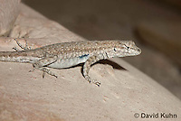 0613-1007  Side-blotched Lizard, Uta stansburiana (syn. Uta antiqua or Uta stellata)  © David Kuhn/Dwight Kuhn Photography