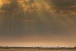 African Lion (Panthera leo) pride in savanna, Busanga Plains, Kafue National Park, Zambia