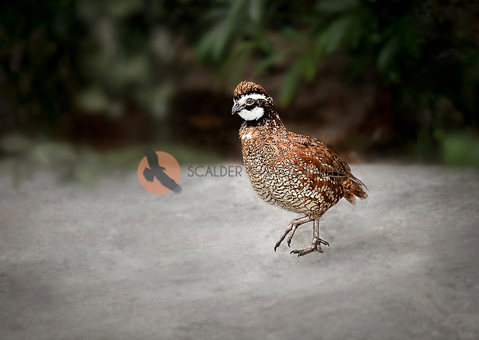 Male Northern BobWhite Quail walking along a dirt path among trees