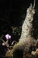 Fiori. Flowers. Ciclamino. Cyclamen....