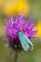 Common Forester Moth (Adscita statices) Nordtirol, Austrian Alps, Austria, June.